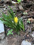 kara çiğdem-winter daffodil
