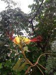 aslan bıyığı-paradise bush
