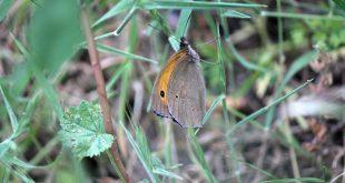 kelebekada